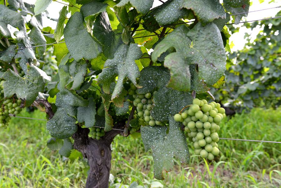 ワインに向いている葡萄の品種