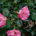 rose_tuyu