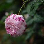 rose_tuyu2