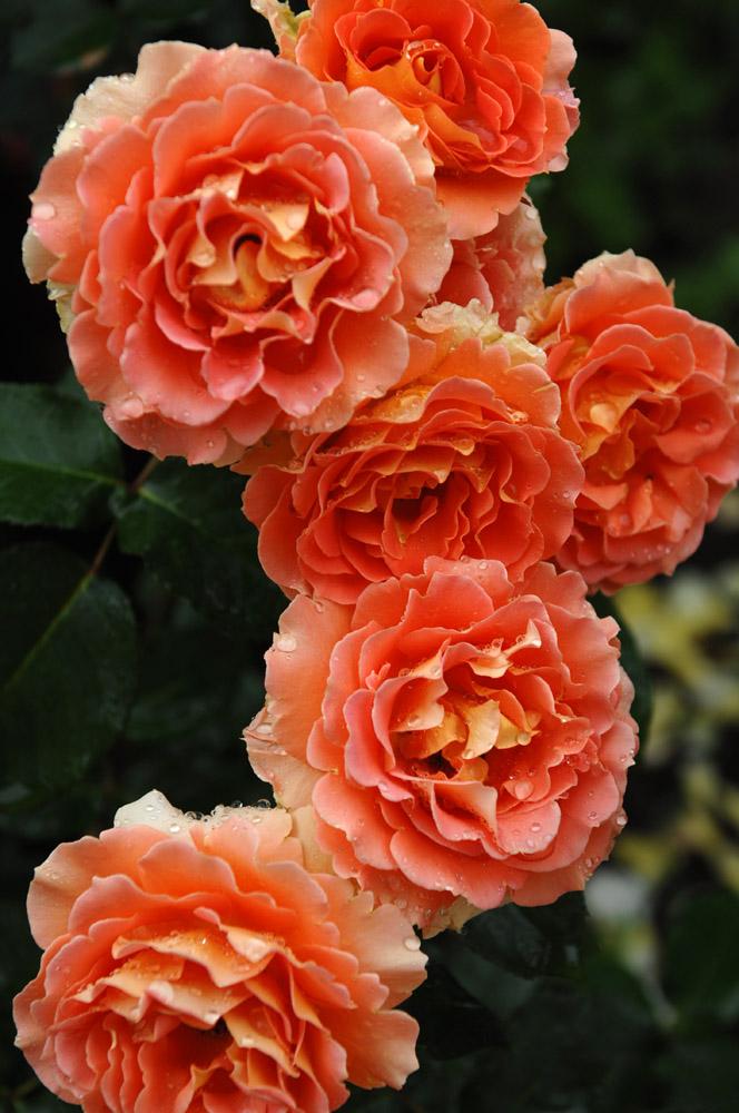 otonaweb-rose-02