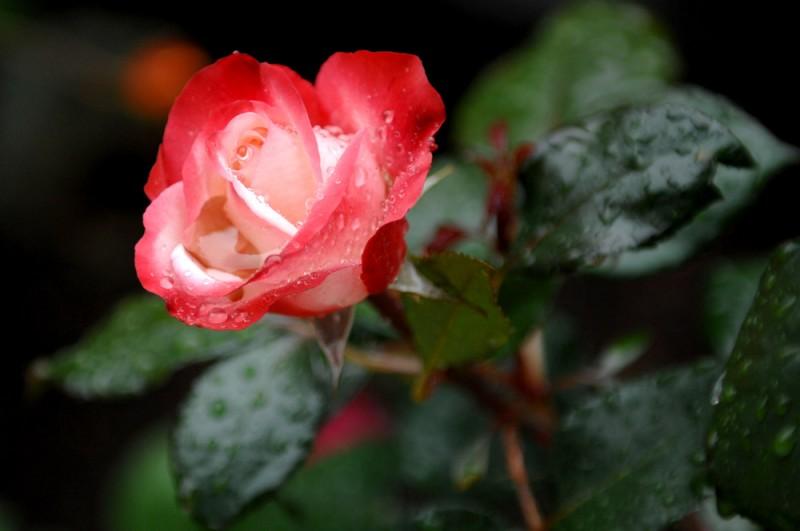otonaweb-rose-05