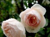 otonaweb-rose-13