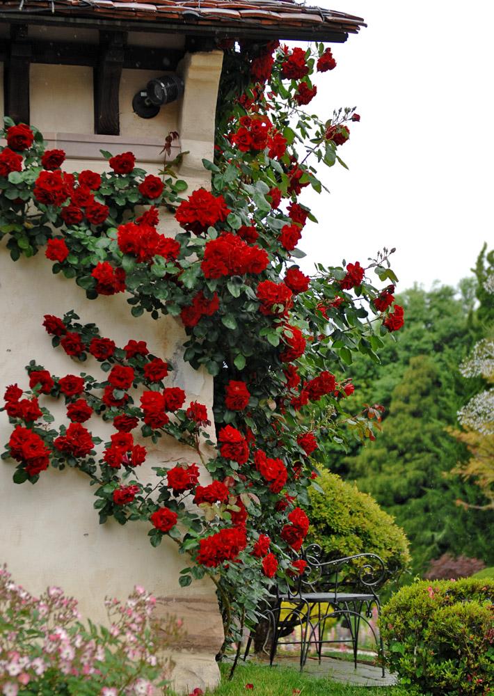 otonaweb-rose-04