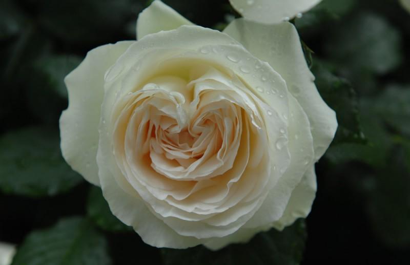 otonaweb-rose-12