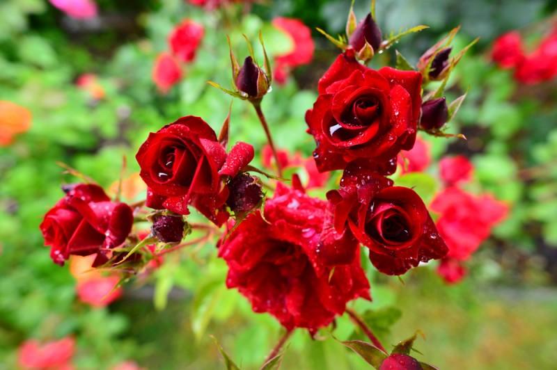 otonaweb-rose-19